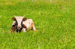 Ñ  ow na zielonej trawie Fotografia Royalty Free
