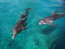 Тwo frolicking dolphin. Dolphins frolic in the clear water Stock Image