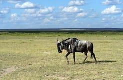 Ñu africano del antílope Fotografía de archivo libre de regalías