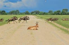 Ñu azul - fondo de la fauna - usuarios de camino Foto de archivo libre de regalías