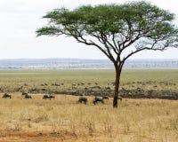 Ñu de la manada que pasta con un árbol Fotografía de archivo libre de regalías