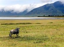 Ñu en el área de la protección del cráter de Ngorongoro Fotos de archivo libres de regalías