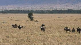 Ñu en su migración anual en reserva del juego de Mara del masai almacen de metraje de vídeo