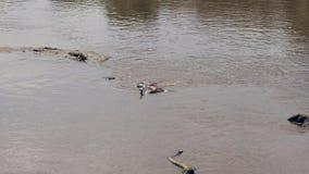 Ñu muerto en Mara River Crocodile Eats almacen de video