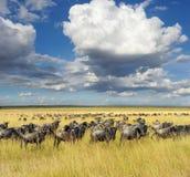 Ñu, parque nacional de Kenia, África Fotografía de archivo