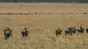 Ñu que camina en reserva del juego de Masai Mara sobre su migración anual almacen de metraje de vídeo
