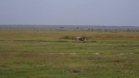 Ñu que corre rápidamente en pasto en fauna africana metrajes
