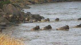 Ñu que cruza el río de Mara en su migración anual almacen de video