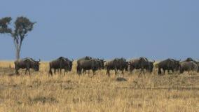 Ñu que emigra a través de la sabana con las olas de calor en reserva del juego de Mara del masai metrajes