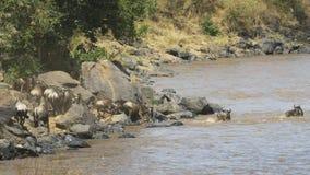 Ñu que inscribe a Mara River en Maasai Mara Game Reserve almacen de metraje de vídeo