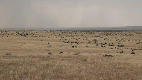 Ñu que pasta en la reserva del juego de Mara del masai, Kenia almacen de video