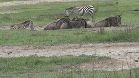 Ñu y cebras que pastan en el prado almacen de metraje de vídeo
