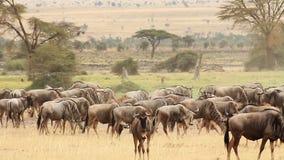 Ñus en el parque de Amboseli almacen de metraje de vídeo