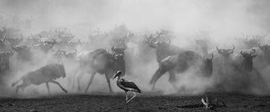 Ñus que corren a través de la sabana Gran migración kenia tanzania Masai Mara National Park Imágenes de archivo libres de regalías