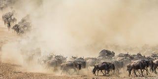Ñus que corren a través de la sabana Gran migración kenia tanzania Masai Mara National Park Foto de archivo