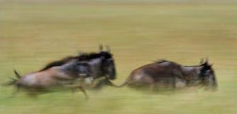 Ñus que corren a través de la sabana Gran migración kenia tanzania Masai Mara National Park Efecto del movimiento Foto de archivo