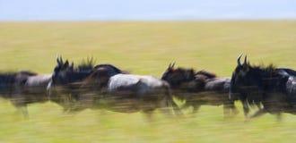 Ñus que corren a través de la sabana Gran migración kenia tanzania Masai Mara National Park Efecto del movimiento Imagen de archivo libre de regalías