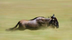 Ñus que corren a través de la sabana Gran migración kenia tanzania Masai Mara National Park Efecto del movimiento Fotos de archivo