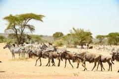 Ñus y cebras en el gran tiempo de la migración en Serengeti, África, hundrets de ñus junto fotografía de archivo libre de regalías