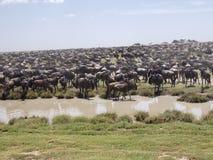 Ñus y cebras, parque nacional de Serengeti, Tanzania de la migración imagenes de archivo