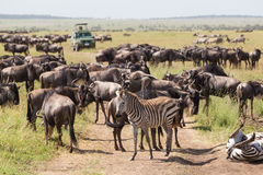 Ñus y cebras que pastan en el parque nacional de Serengeti en Tanzania, la África del Este Imágenes de archivo libres de regalías