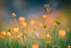 Żółci łąka kwiaty Zdjęcia Royalty Free