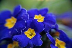 Żółci Błękitni Colour kwiaty Zdjęcia Royalty Free