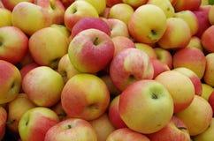 Żółci czerwoni jabłka Zdjęcia Royalty Free