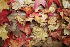 Żółci czerwoni jesień liście na tle Zdjęcie Royalty Free