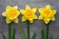 Żółci daffodils na popielatym tle dostępny karciany Easter eps kartoteki powitanie Fotografia Stock