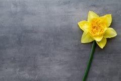 Żółci daffodils na popielatym tle dostępny karciany Easter eps kartoteki powitanie Obraz Stock