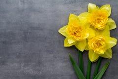 Żółci daffodils na popielatym tle dostępny karciany Easter eps kartoteki powitanie Fotografia Royalty Free