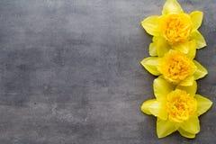 Żółci daffodils na popielatym tle dostępny karciany Easter eps kartoteki powitanie Zdjęcia Royalty Free