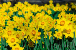 Żółci Daffodils z Pomarańczowymi centrami Obrazy Stock
