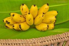 Żółci dama palca banany stawiający na zielonym bananowym liściu, kluay-khai, Musaceae, Pisang Mas Fotografia Royalty Free