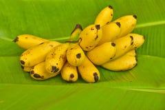 Żółci dama palca banany stawiający na zielonym bananowym liściu, kluay-khai, Musaceae, Pisang Mas Fotografia Stock