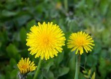 Żółci dandelions na polu zdjęcia stock