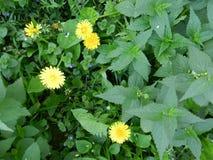 Żółci dandelions w pokrzywie Zdjęcie Royalty Free