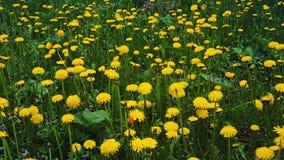 Żółci dandelions w polu Zdjęcie Stock