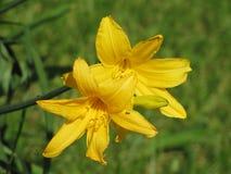 Żółci daylily kwiaty Zdjęcia Royalty Free