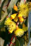Żółci dziąsła lub Eucalypt okwitnięcia fotografia royalty free