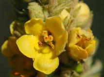Żółci dziewanna kwiaty Fotografia Royalty Free