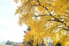 Żółci ginko liście Zdjęcia Stock