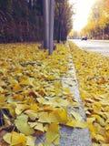 Żółci ginko liście w jesieni Fotografia Royalty Free