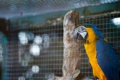 Żółci i błękitni ara arony Obraz Royalty Free