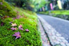 Żółci i czerwoni Japońscy liście klonowi spadać na zielonej mechatej ziemi Zdjęcia Royalty Free