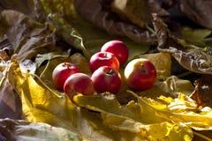 Żółci i czerwoni jesieni jabłka na spadać liściu Zdjęcia Royalty Free