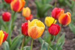 Żółci i czerwoni tulipany Fotografia Stock