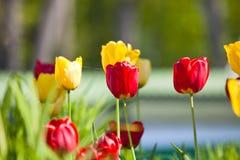 Żółci i czerwoni tulipany Zdjęcia Royalty Free