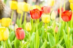 Żółci i czerwoni tulipany w parku Obrazy Stock